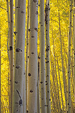 Aspen Trees used in log furniture